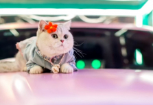 Kucing Mao Mao, si model mobil. (Foto: World of Buzz)