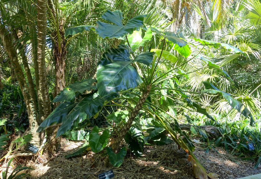 Philodendron williamsii. (commons.wikimedia)